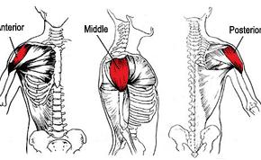 deltoid-anatomy